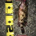 Kouji Sawaguchiさんの静岡県熱海市でのカサゴの釣果写真