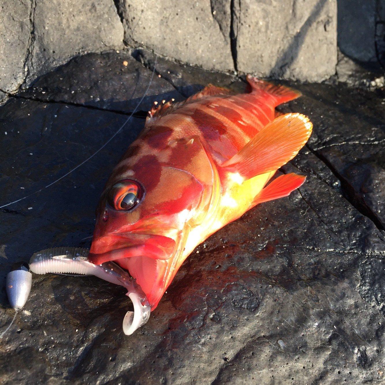 チャンヒカ@餌木團さんの投稿画像,写っている魚はアカハタ