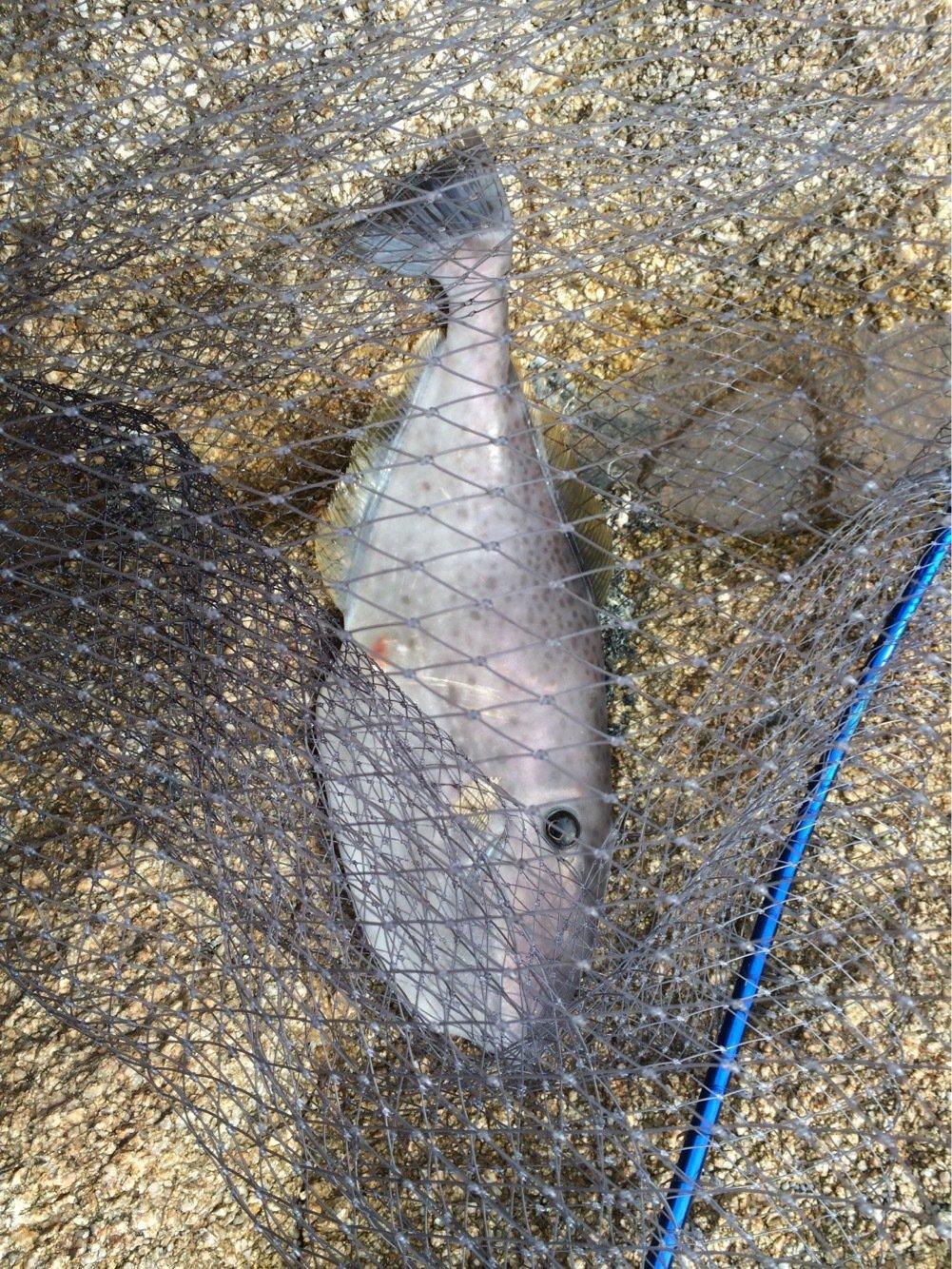 ジグ太郎さんの投稿画像,写っている魚はウスバハギ