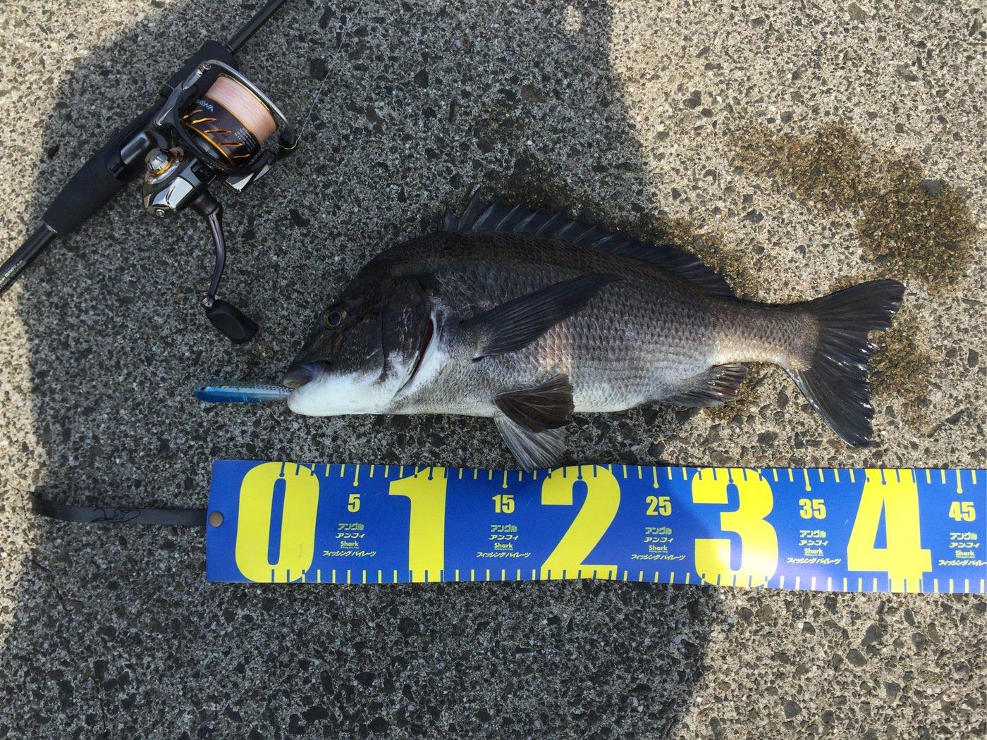 ポコチンさんの投稿画像,写っている魚はクロダイ