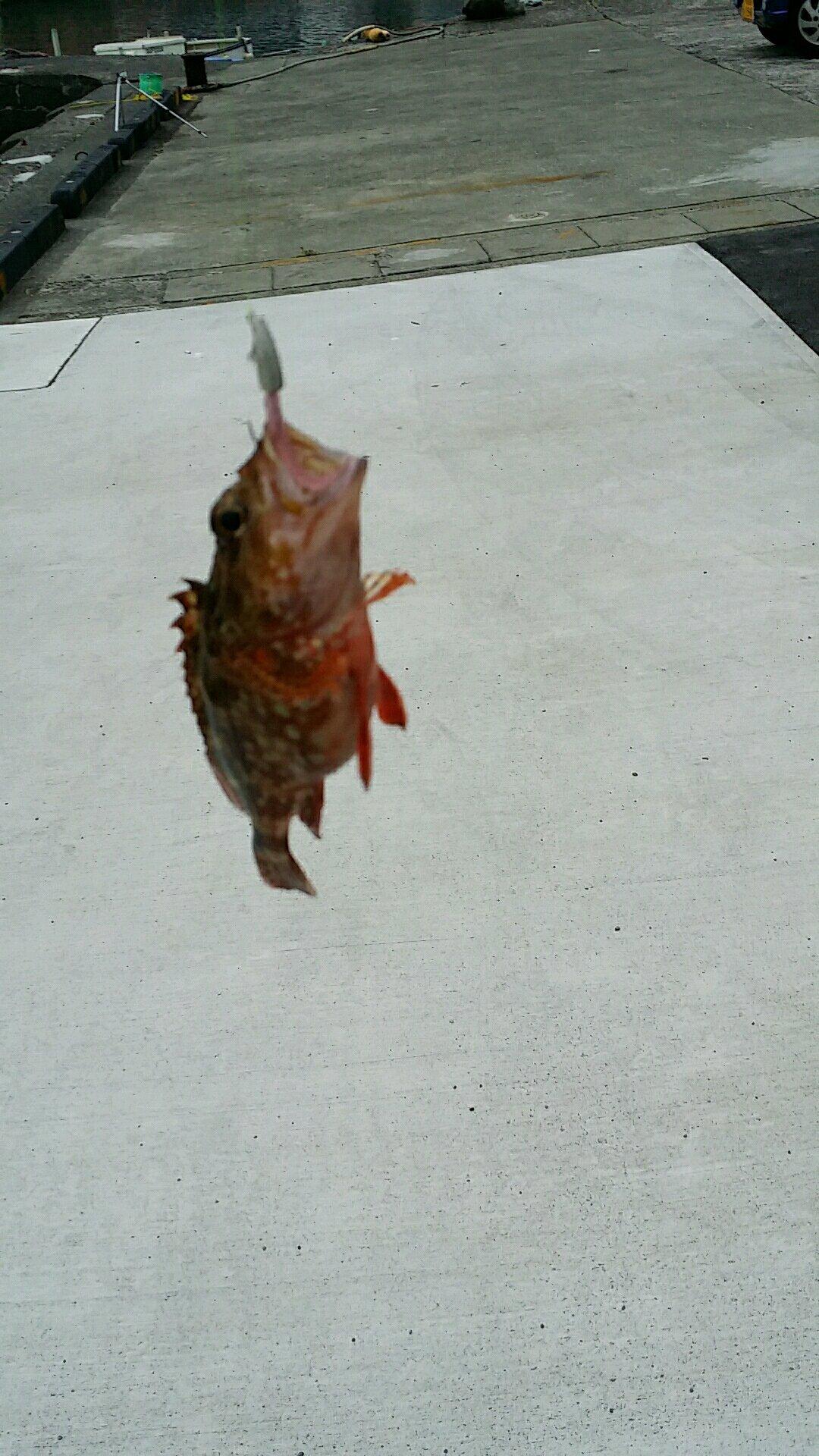 やまさんの投稿画像,写っている魚はカサゴ