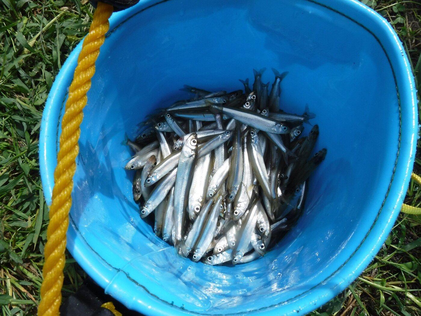 醤油派さんの投稿画像,写っている魚はワカサギ,ウグイ