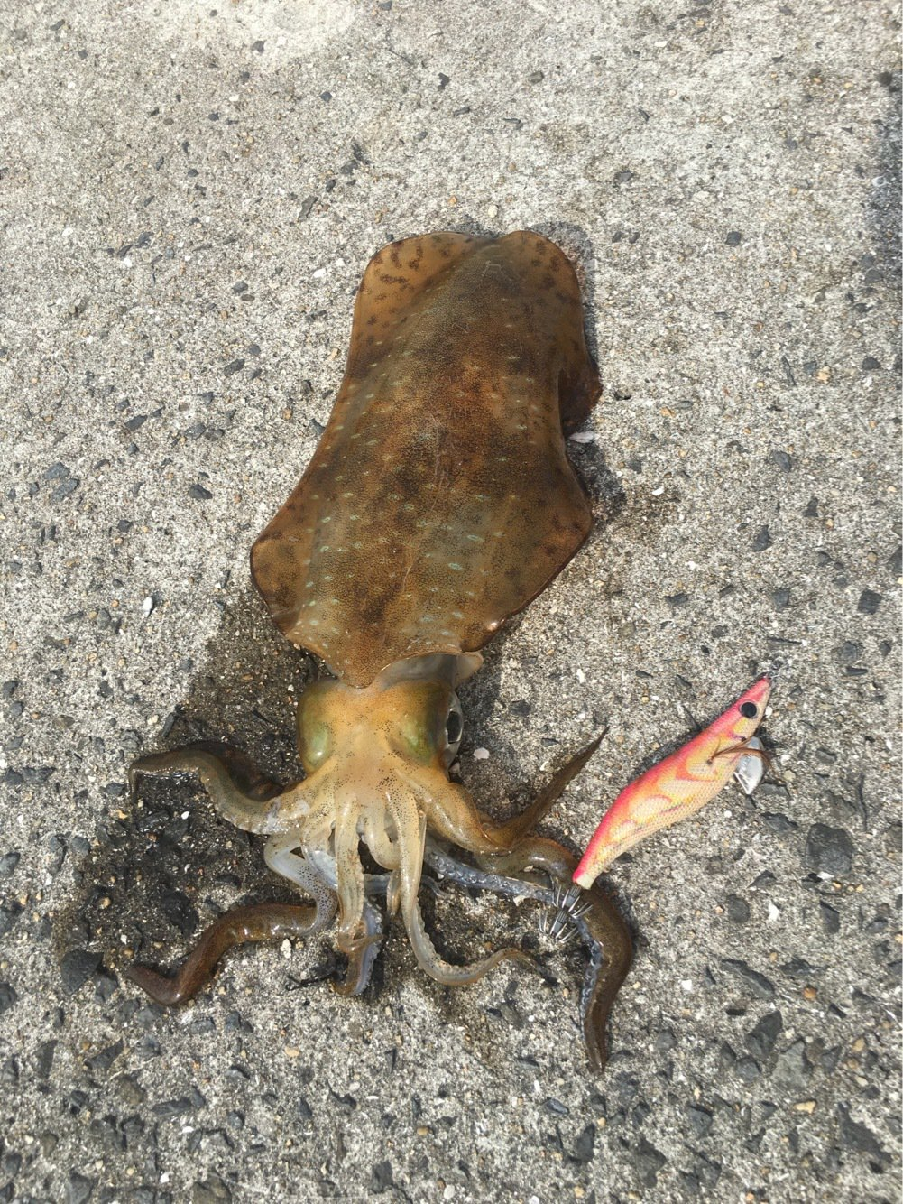 大潮 舟太郎さんの投稿画像,写っている魚はマダコ