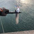 タカケーさんの大阪府岸和田市でのタチウオの釣果写真