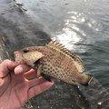 かめんぐさんの静岡県静岡市でのオオモンハタの釣果写真