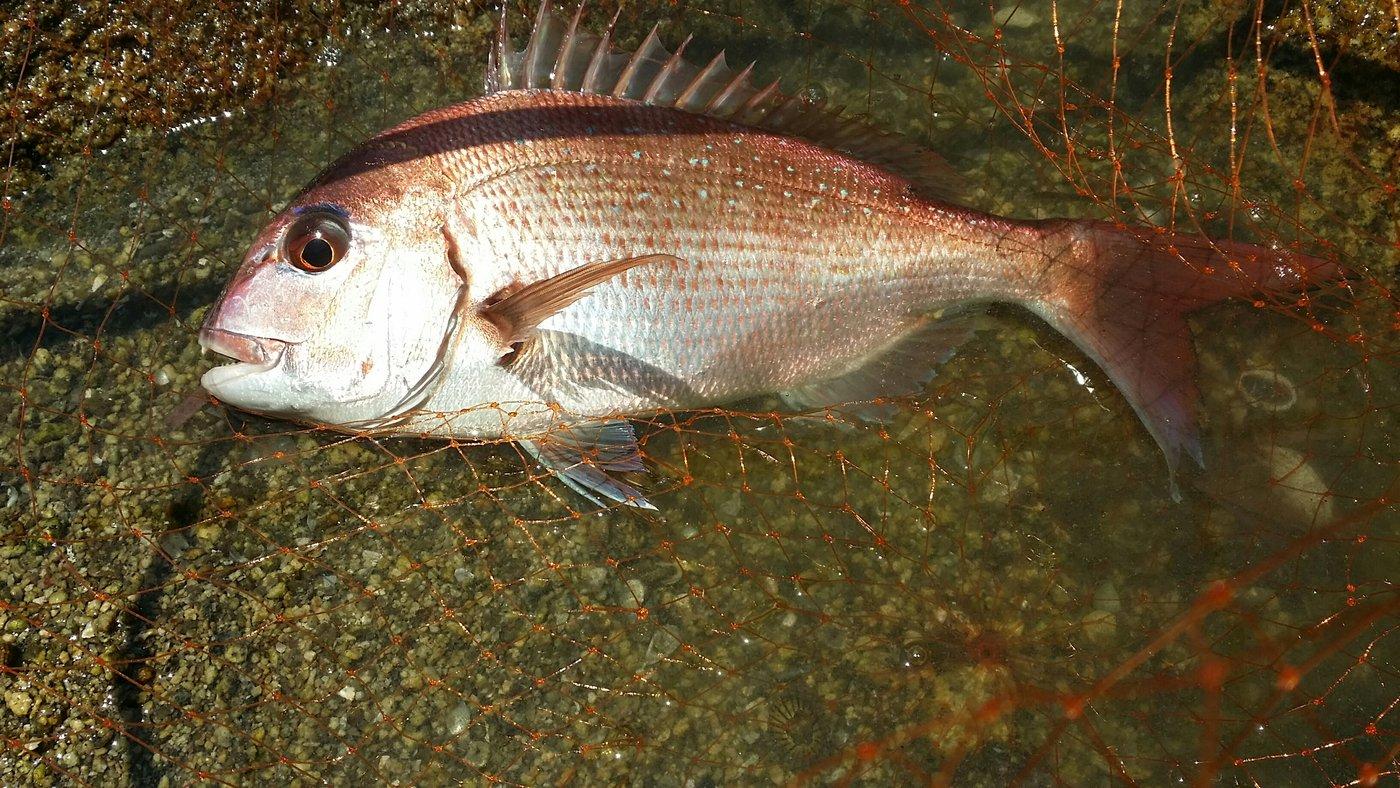 hiroshi.hさんの投稿画像,写っている魚はマダイ