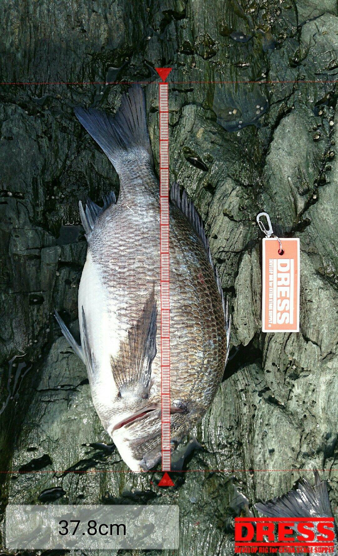 かずとみさんの投稿画像,写っている魚はクロダイ