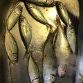 しんりょくさんの福岡県福岡市でのコノシロの釣果写真