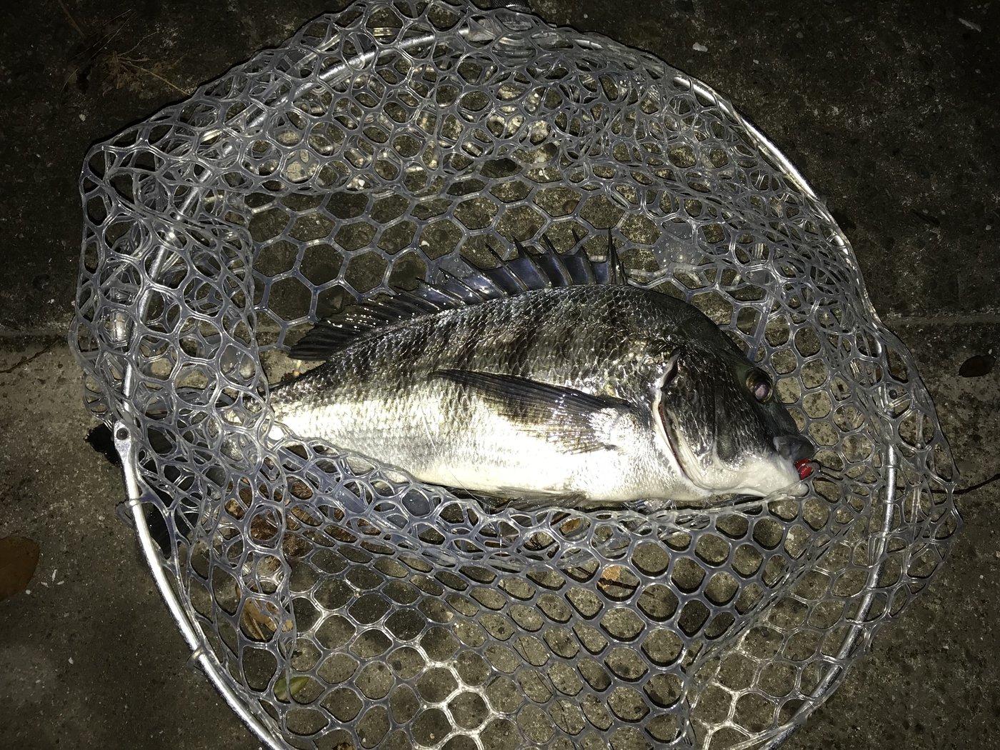 peeさんの投稿画像,写っている魚はクロダイ