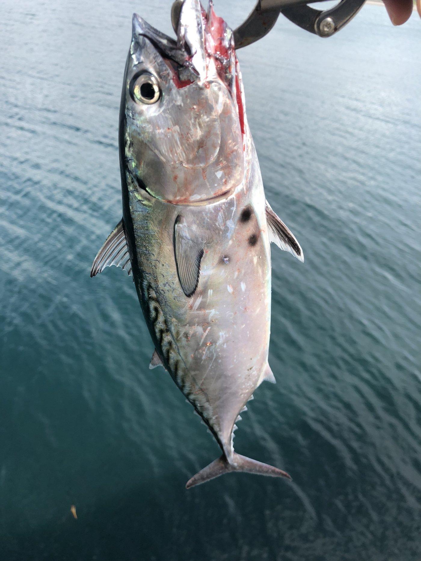 小恋さんの投稿画像,写っている魚はスマ