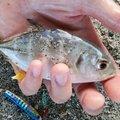 Julirranciumさんの鹿児島県熊毛郡での釣果写真