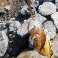 金テープさんの佐賀県東松浦郡でのアオリイカの釣果写真