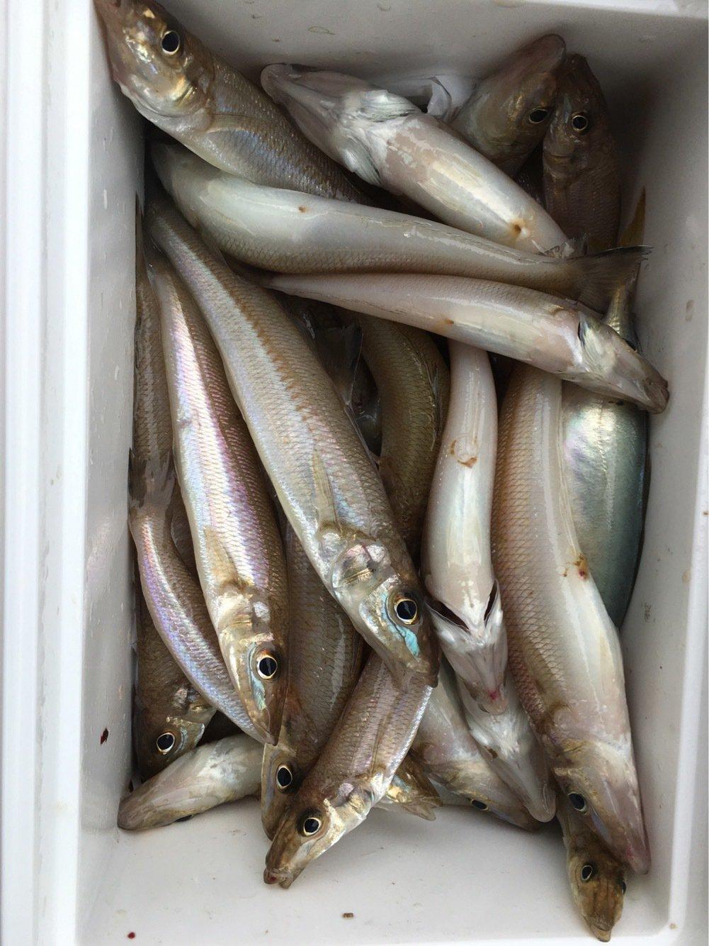 ヒラメさんの投稿画像,写っている魚はシロギス