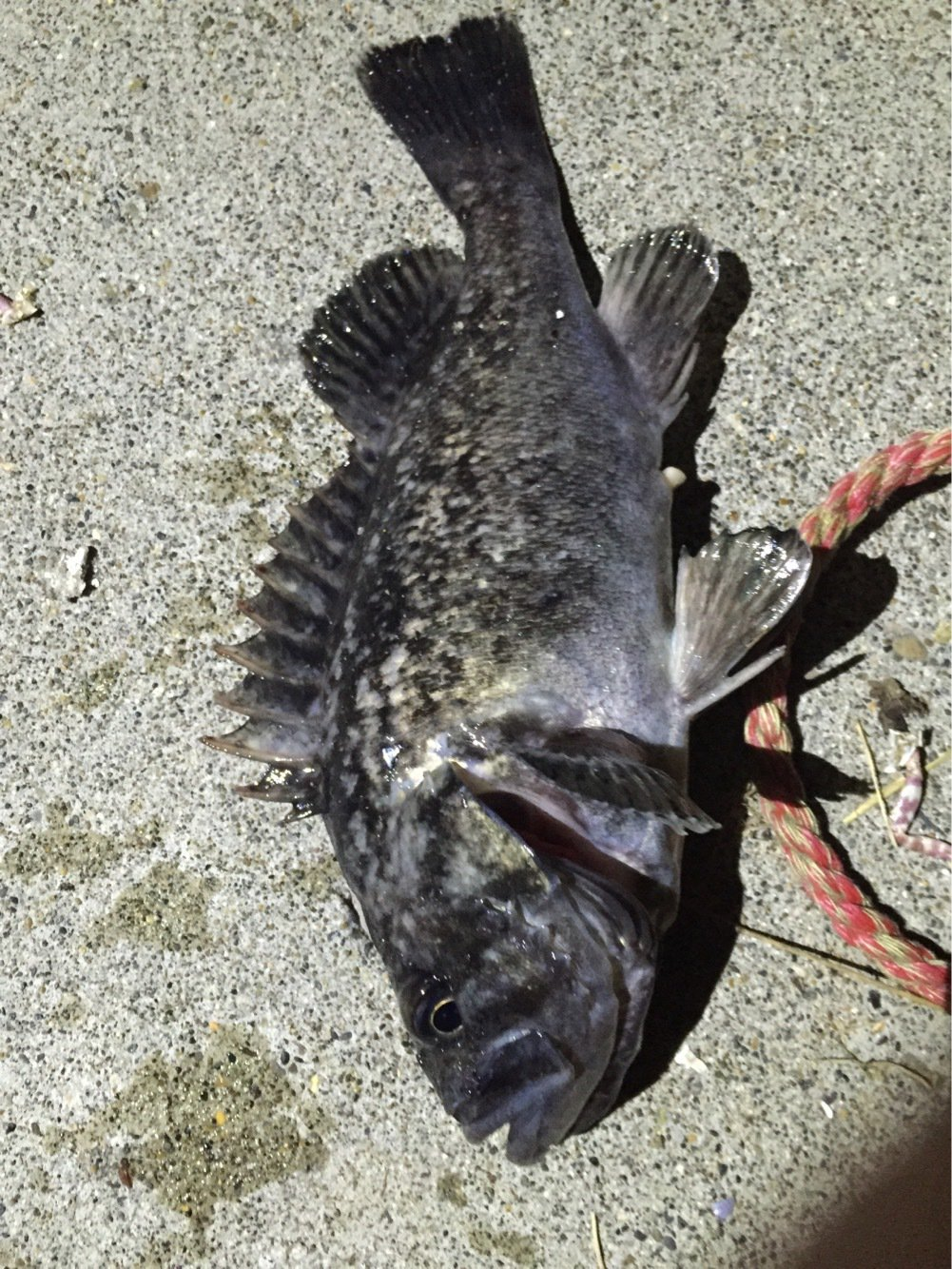 タナカ ショウタさんの投稿画像,写っている魚はクロソイ