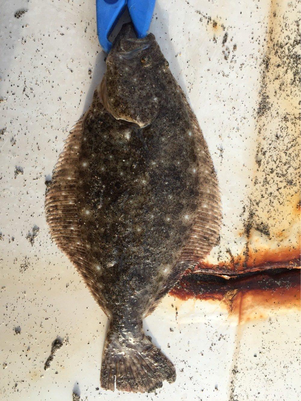 カオルさんの投稿画像,写っている魚はヒラメ
