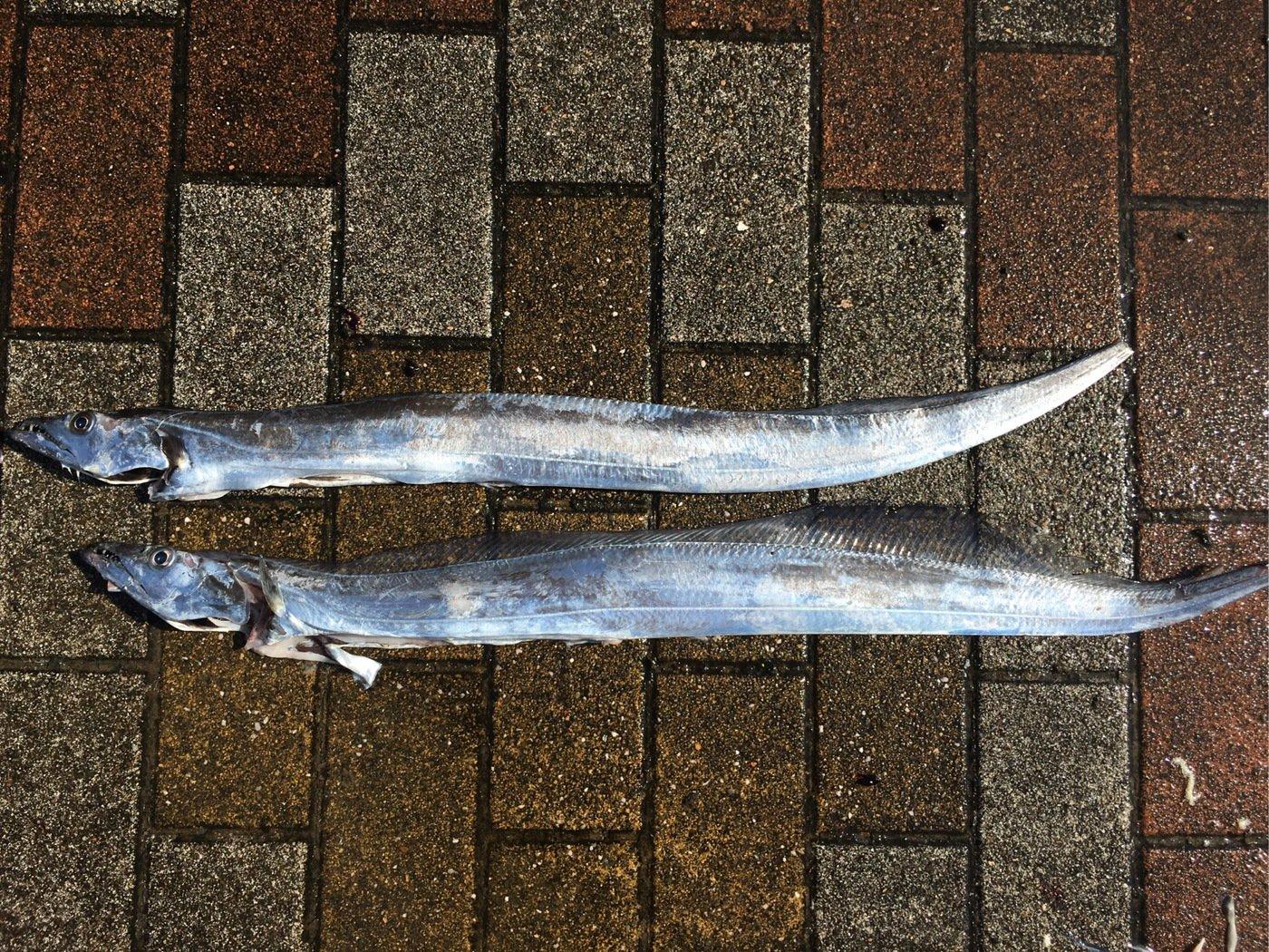 小恋さんの投稿画像,写っている魚はタチウオ