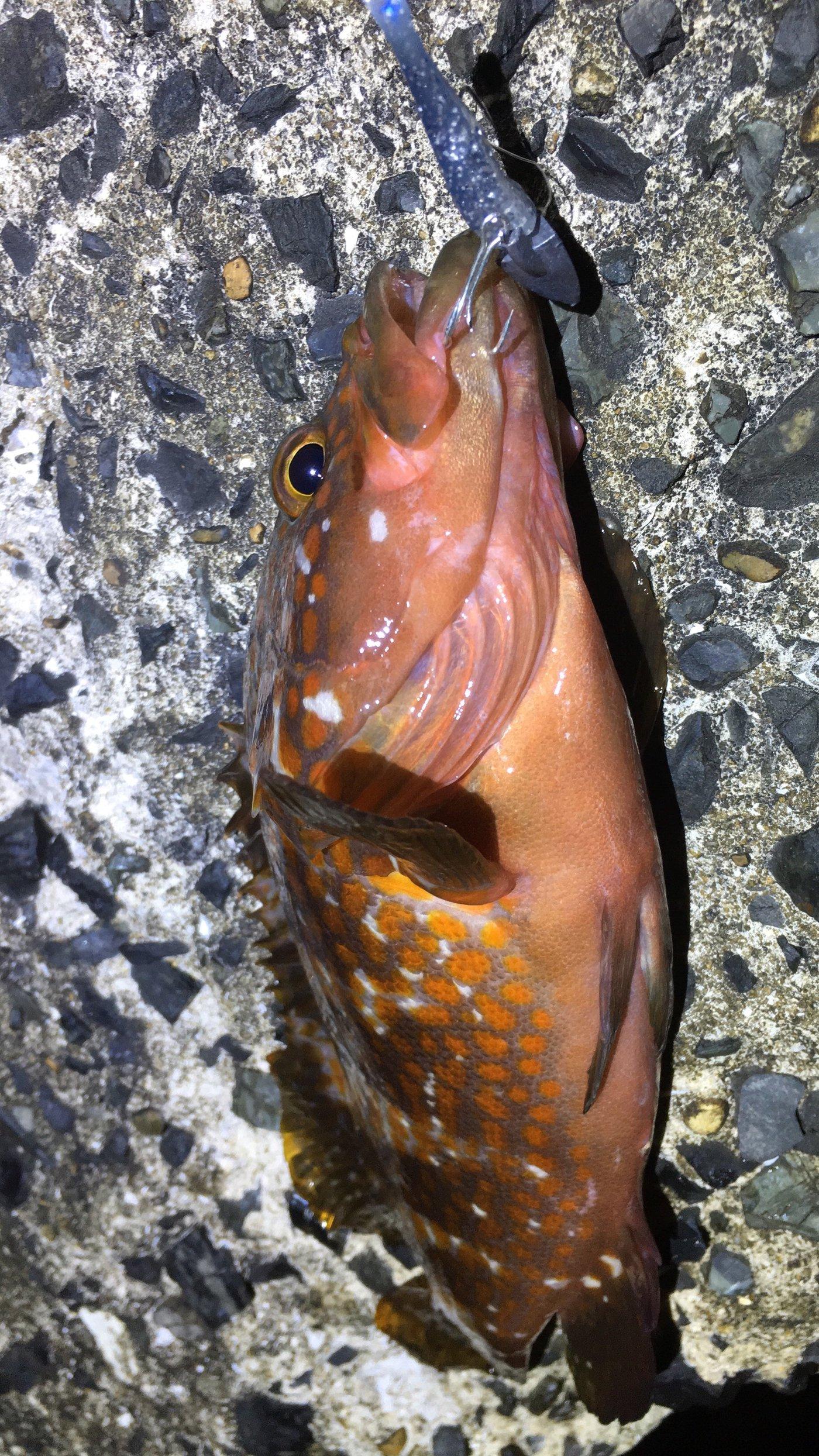 梅宮さんの投稿画像,写っている魚はキジハタ