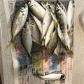 マニアなしんちゃんさんの広島県東広島市での釣果写真