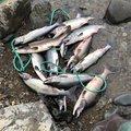 トリトンさんの北海道釧路市での釣果写真