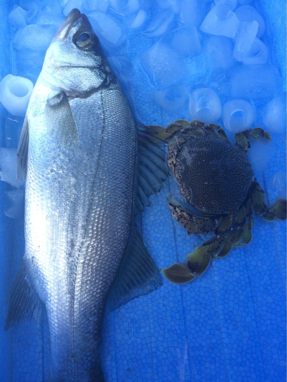 ミセリさんの投稿画像,写っている魚はスズキ