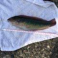 ベラさんの神奈川県でのキュウセンの釣果写真