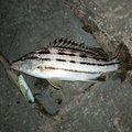 mrfjさんの宮崎県宮崎市でのシマイサキの釣果写真