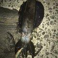 mi~/osakanaclubさんの長崎県雲仙市でのアオリイカの釣果写真