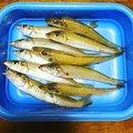 つり麺さんの新潟県三島郡での釣果写真