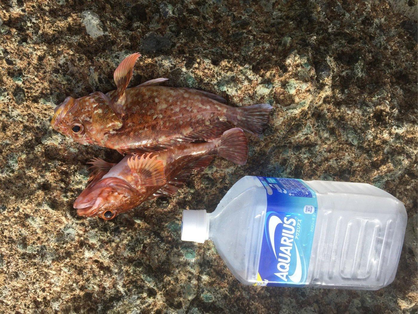 UTさんの投稿画像,写っている魚はアカカサゴ