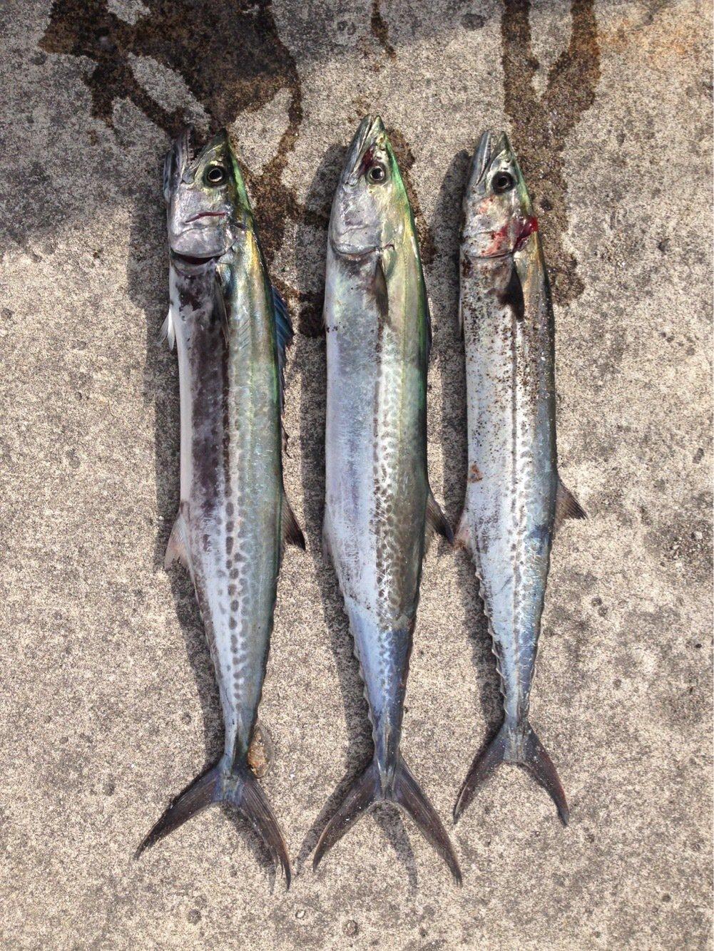 UTさんの投稿画像,写っている魚はサワラ