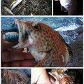 KRO さんの静岡県沼津市でのネンブツダイの釣果写真