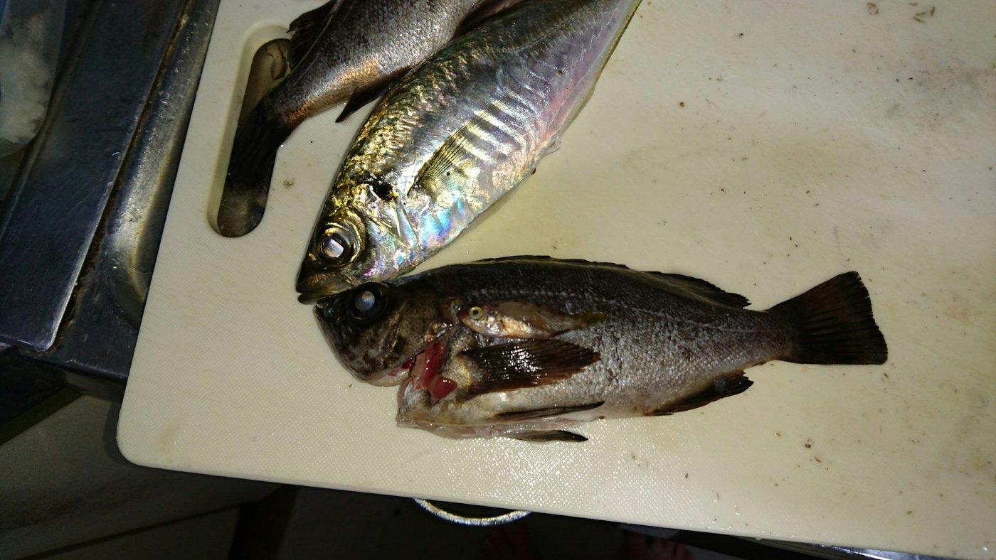 inouekeisukeさんの投稿画像,写っている魚はアジ