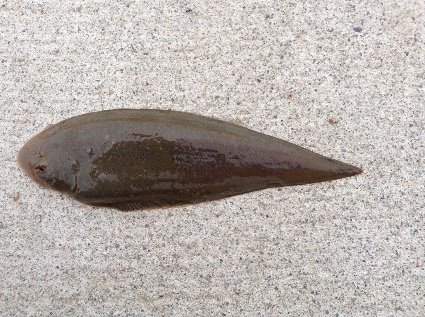 ナカナカさんの投稿画像,写っている魚は