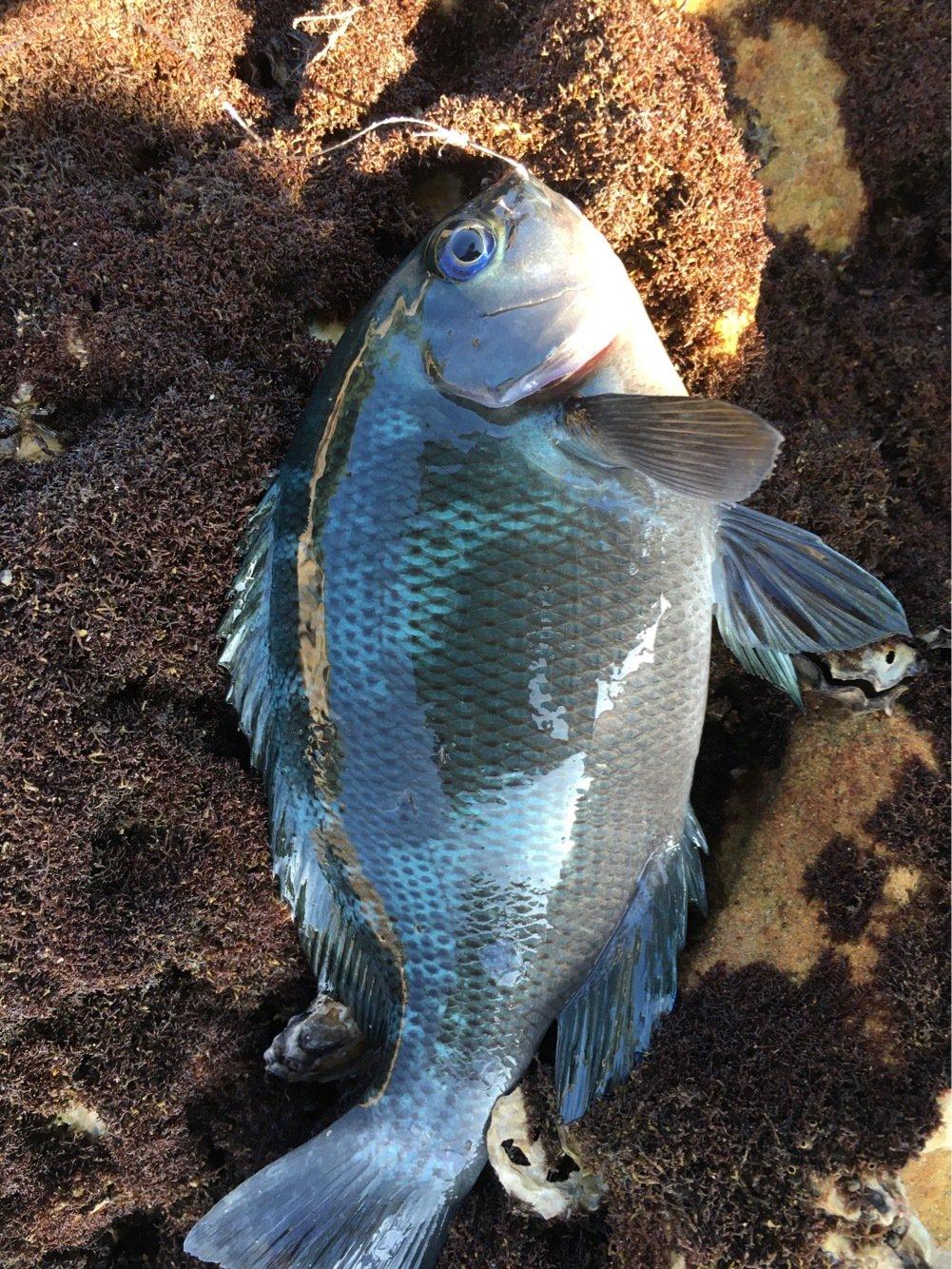 やまちゃんさんの投稿画像,写っている魚はメジナ