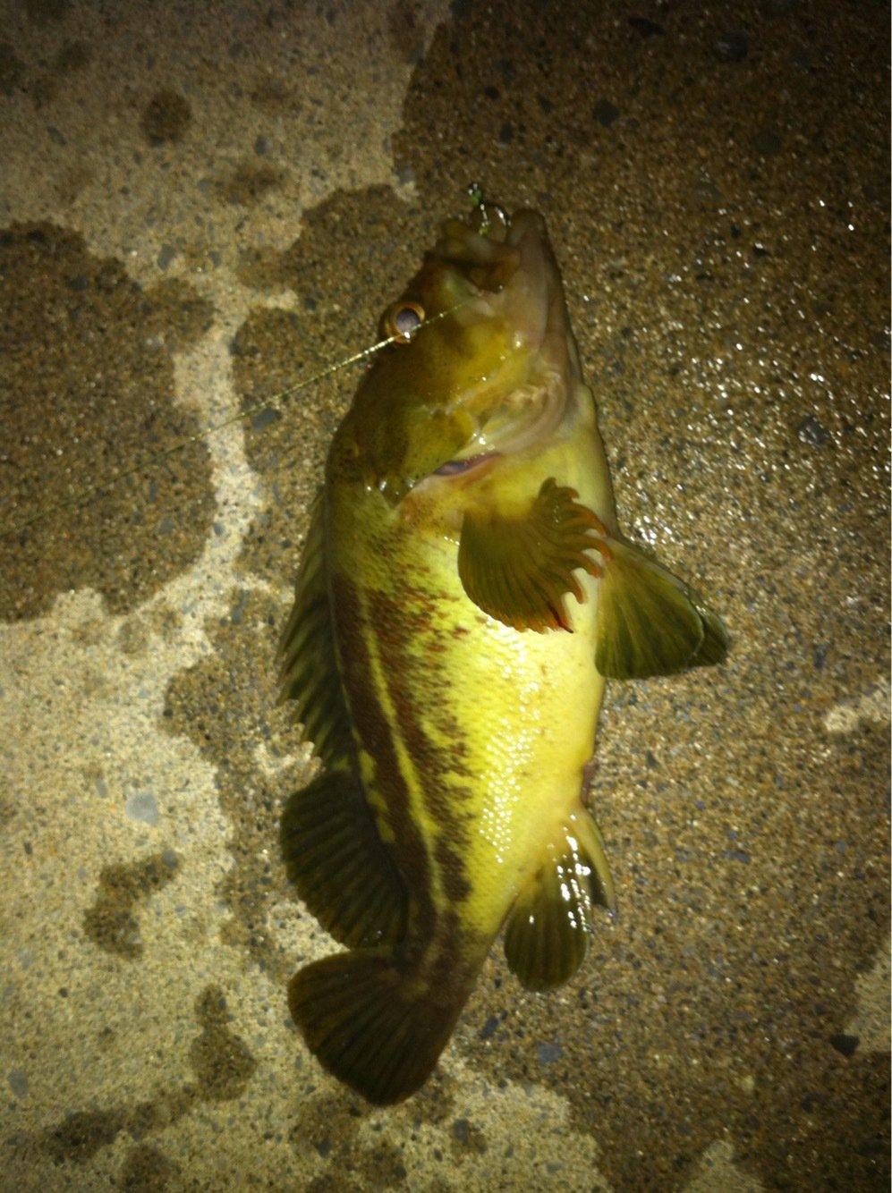 0138STYLEさんの投稿画像,写っている魚はシマゾイ