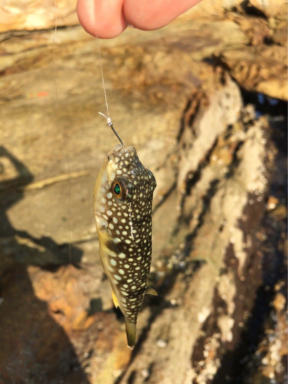 やまちゃんさんの投稿画像,写っている魚はクサフグ
