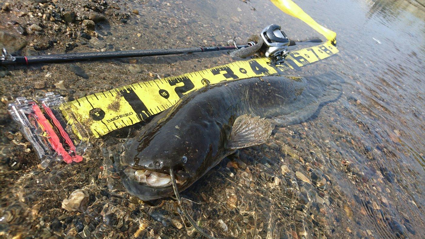 響 kyoさんの投稿画像,写っている魚はナマズ