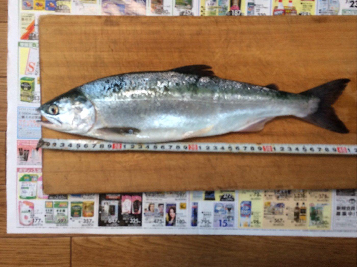 mkiraiさんの投稿画像,写っている魚はカラフトマス