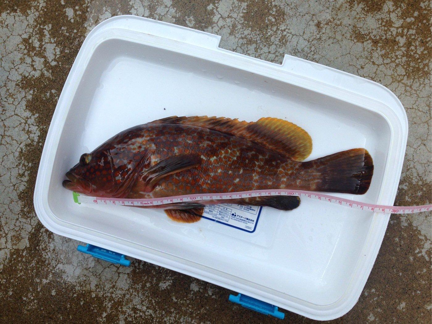 金麦さんの投稿画像,写っている魚はキジハタ