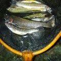 有頂天一号さんの岐阜県郡上市での釣果写真