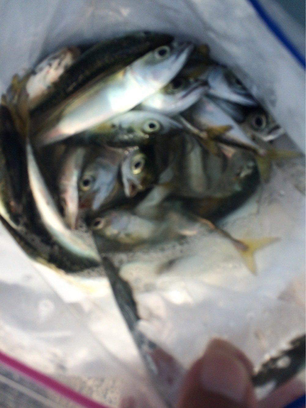 スラッシュさんの投稿画像,写っている魚はアジ