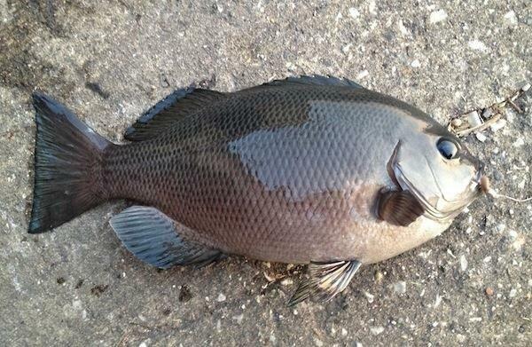スズキリさんの投稿画像,写っている魚はメジナ
