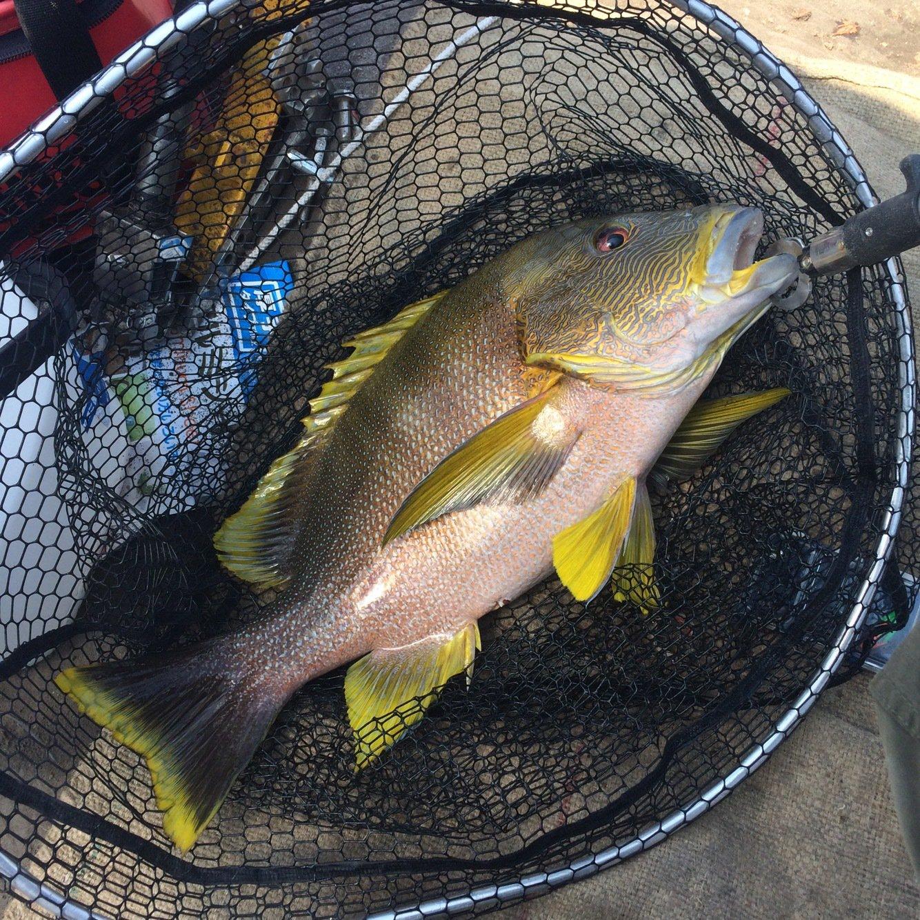 てつじんさんの投稿画像,写っている魚はナミフエダイ