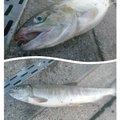 しょうたろうさんの北海道有珠郡での釣果写真
