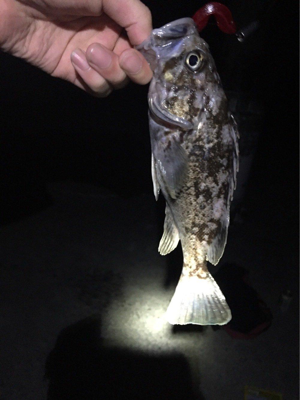 Daisukeさんの投稿画像,写っている魚はソイ