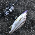 ヨウスケさんのコトヒキの釣果写真