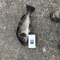 傷だらけのd'5さんの北海道釧路市での釣果写真