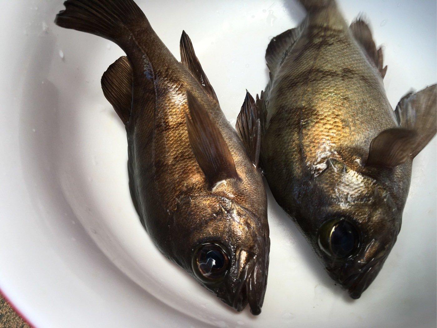 Yuuuuuuukiさんの投稿画像,写っている魚はクロメバル