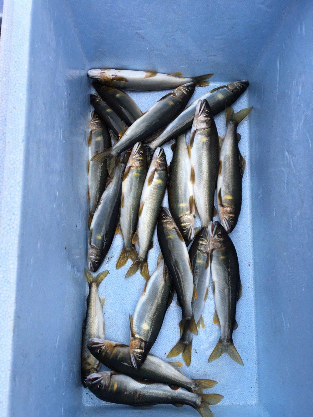 KAZUさんの投稿画像,写っている魚はアユ