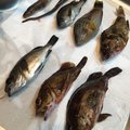 pinotさんの広島県江田島市でのキュウセンの釣果写真